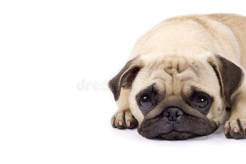 Leuke pug met droevige ogen royalty-vrije stock foto