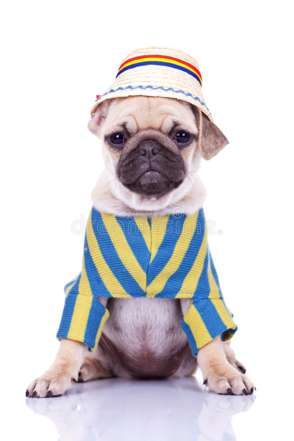 Leuke pug puppyhond die kleren draagt stock fotografie