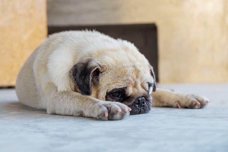 Leuke Pug slaap op de vloer, stock foto's
