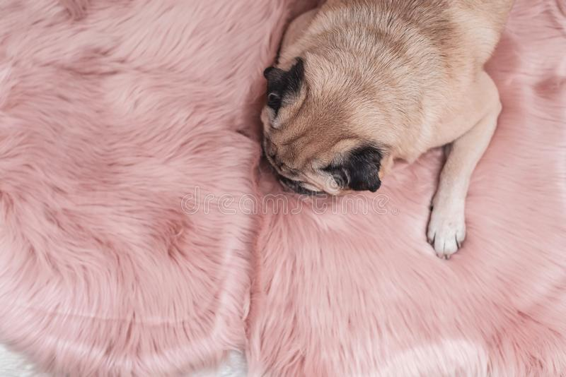 Leuke pug slaapt op roze bonttapijt Slaperig en comfortabel concept stock fotografie