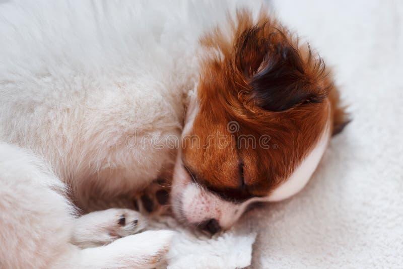 Leuke puppyslaap op tapijt stock afbeeldingen