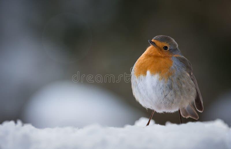 Leuke Robin op sneeuw in rubecula van de wintererithacus stock foto