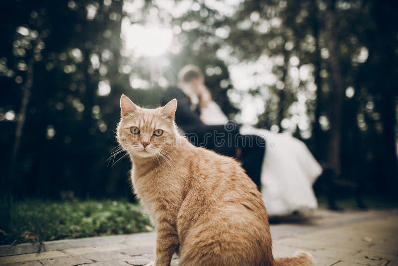 Leuke rode dakloze kat vooruit en bruid en bruidegomkissin die eruit zien stock afbeelding