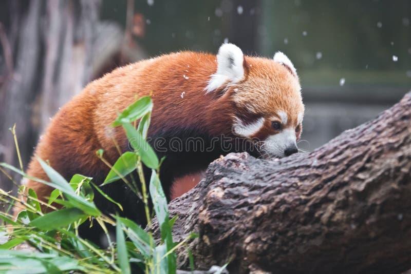 Leuke rode de panda kleine panda van het nieuwjaar op de takken van een boom Bamboebladeren en lichte sneeuw stock afbeelding