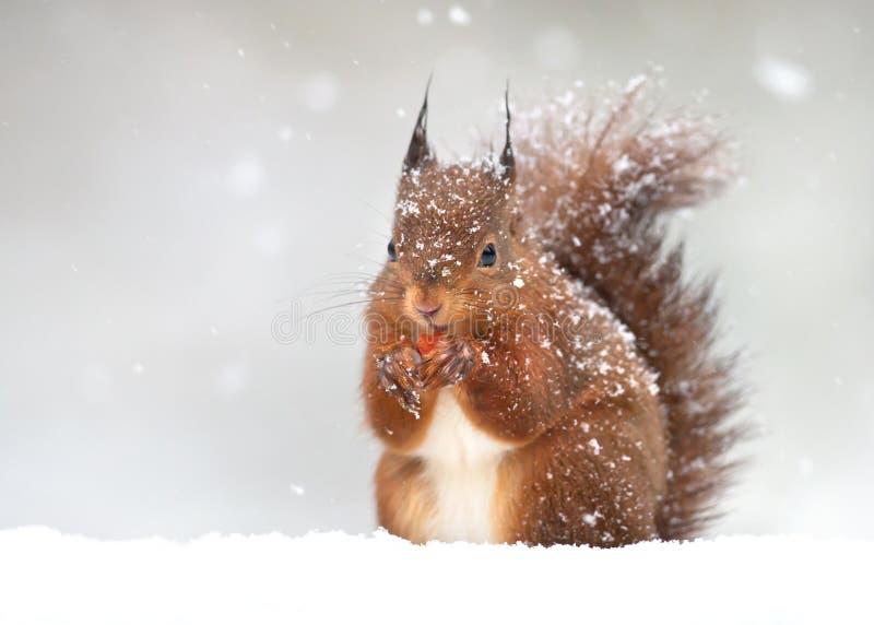 Leuke rode eekhoorn in de dalende sneeuw in de winter stock fotografie