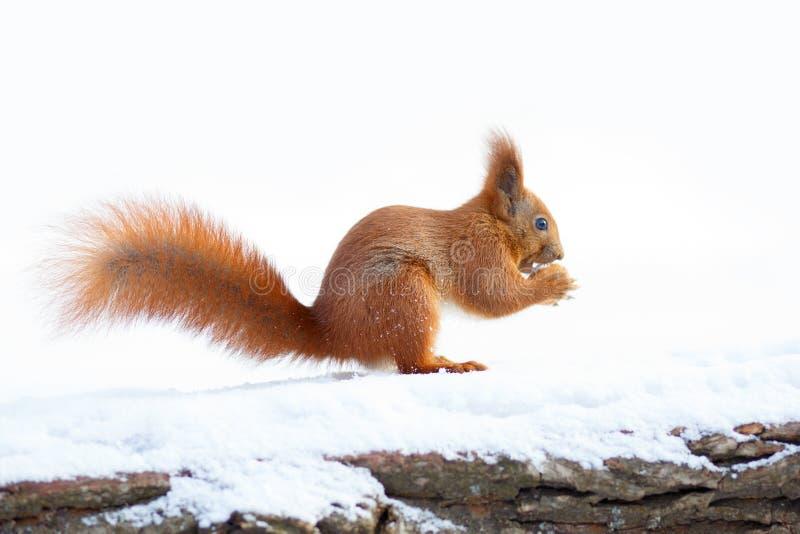 Leuke rode eekhoorn die een noot op de sneeuw houden royalty-vrije stock afbeeldingen