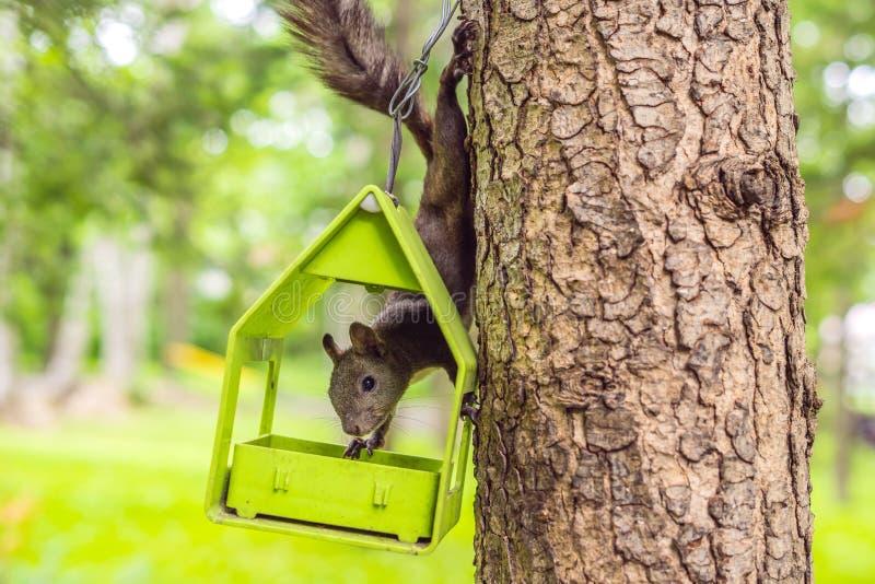 Leuke rode eekhoornzitting op boomboomstam op vage bosachtergrond stock afbeelding