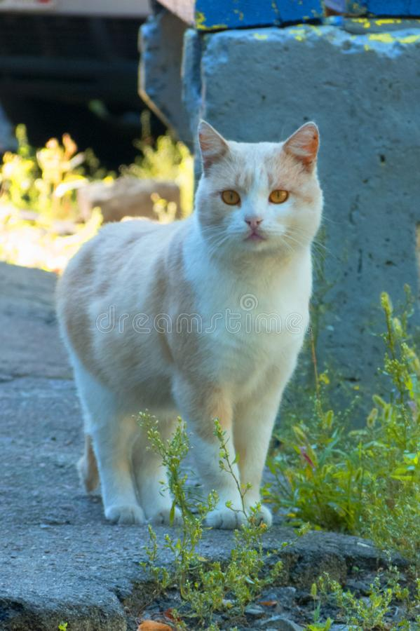 Leuke rode kat met gele ogen Nieuwsgierige mooie kat royalty-vrije stock fotografie