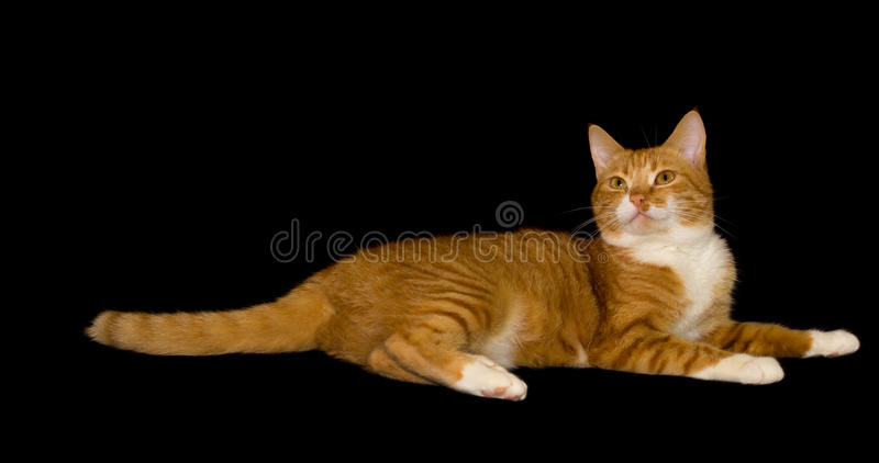 Leuke rode kat, zwarte achtergrond royalty-vrije stock afbeeldingen