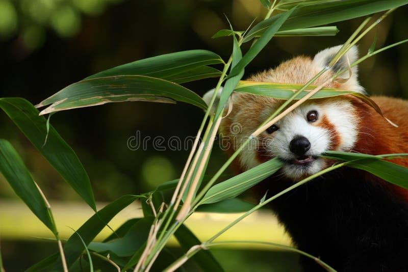 Leuke rode panda royalty-vrije stock afbeeldingen