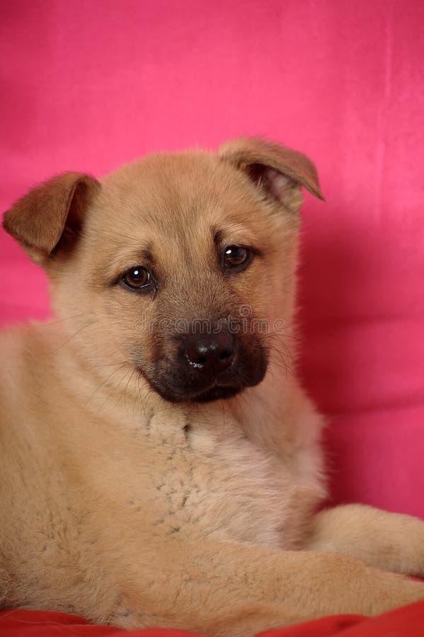 Leuke rode puppybastaard stock foto