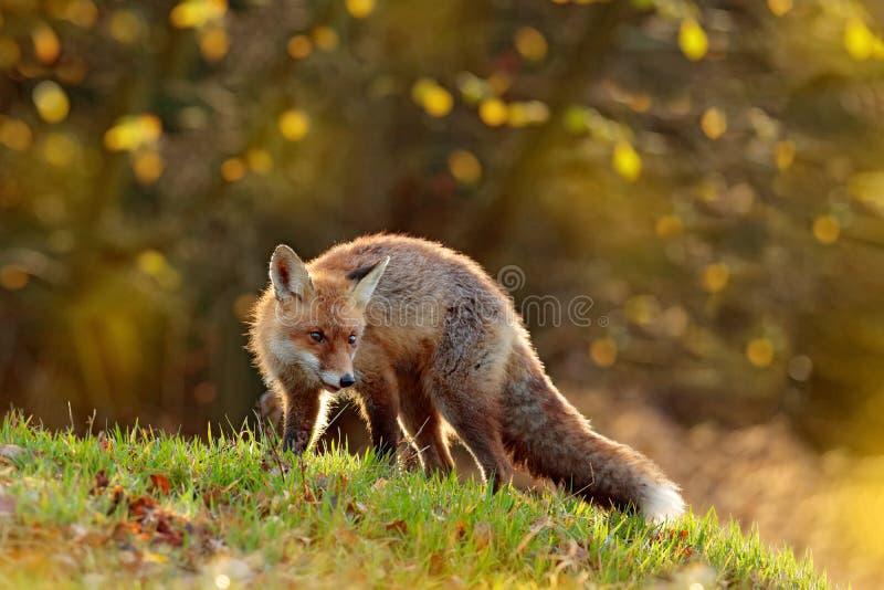 Leuke Rode Vos, Vulpes vulpes in dalings bos Mooi dier in de aardhabitat Het wildsc?ne van de wilde aard vos stock afbeeldingen