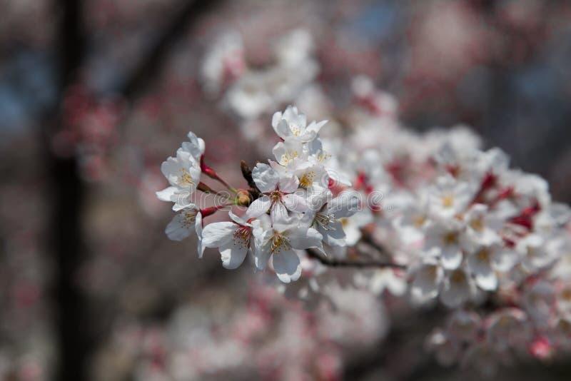 Leuke Sakura Flower-bloesem mooie feestelijk stock afbeelding