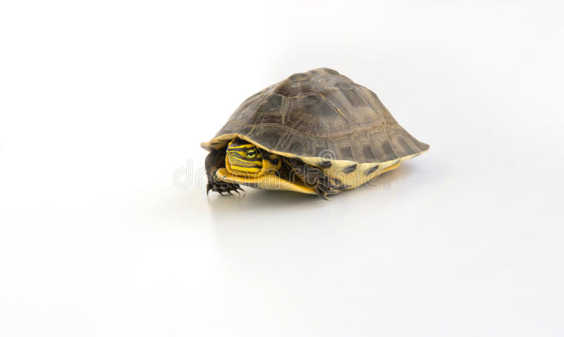 Leuke schildpad stock afbeelding