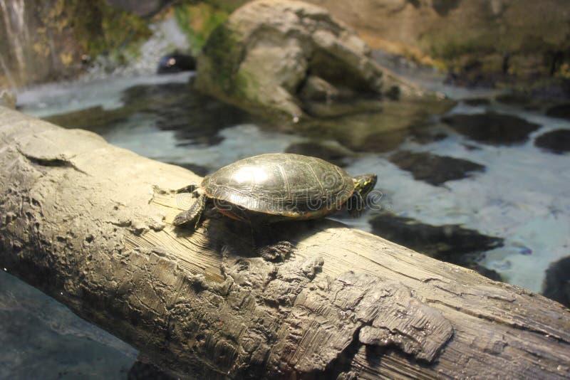 Leuke schildpad op een hout stock afbeeldingen