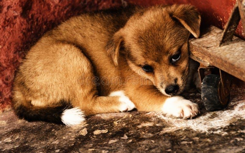 Leuke schuwe kleine bruine hond bij de werfhoek royalty-vrije stock foto's