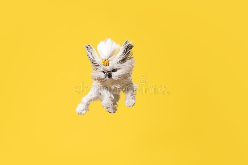 Leuke shihtzu zit op de gele achtergrond Shih Tzu de Chrysantenhond stock foto's