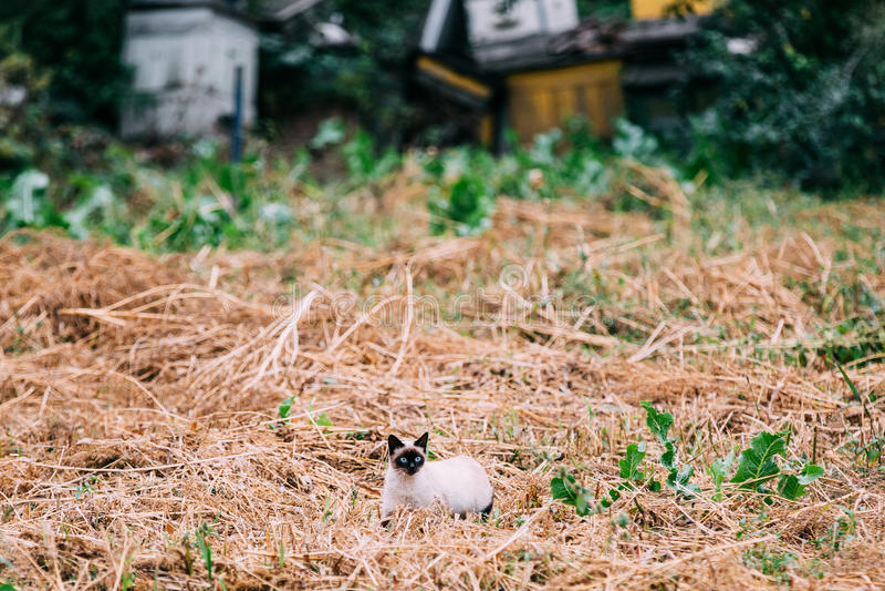 Leuke Siamese Cat Kitten Sit In Dry Grass Outdoor in Autumn Evening stock fotografie