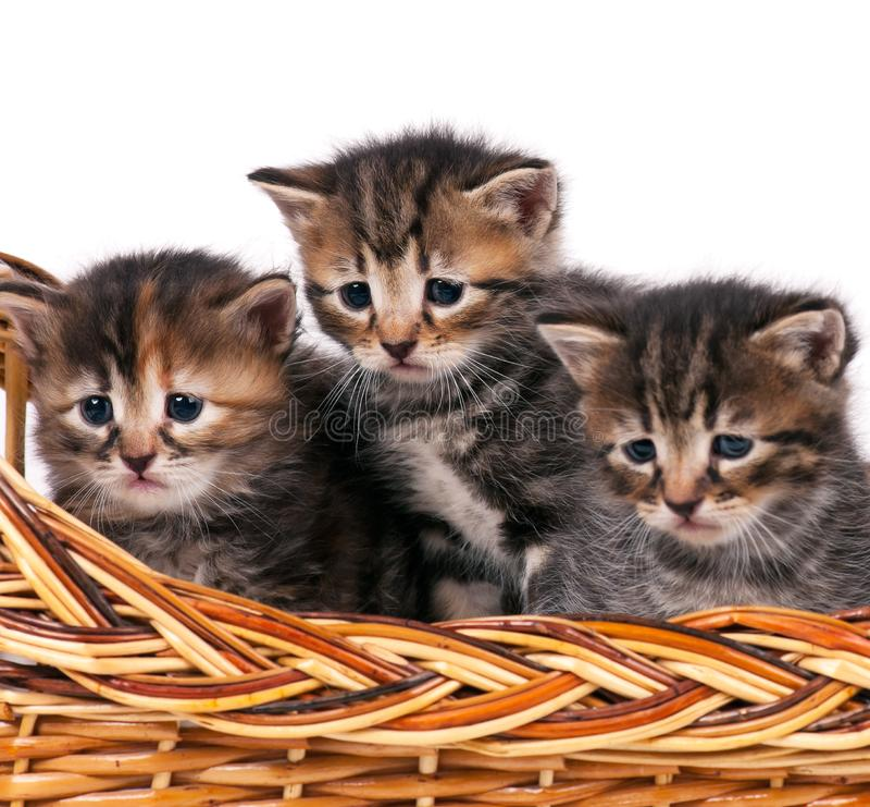 Leuke Siberische katjes stock foto's
