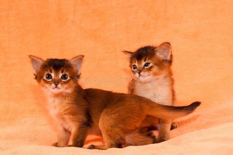 Leuke Somalische katjes royalty-vrije stock afbeelding