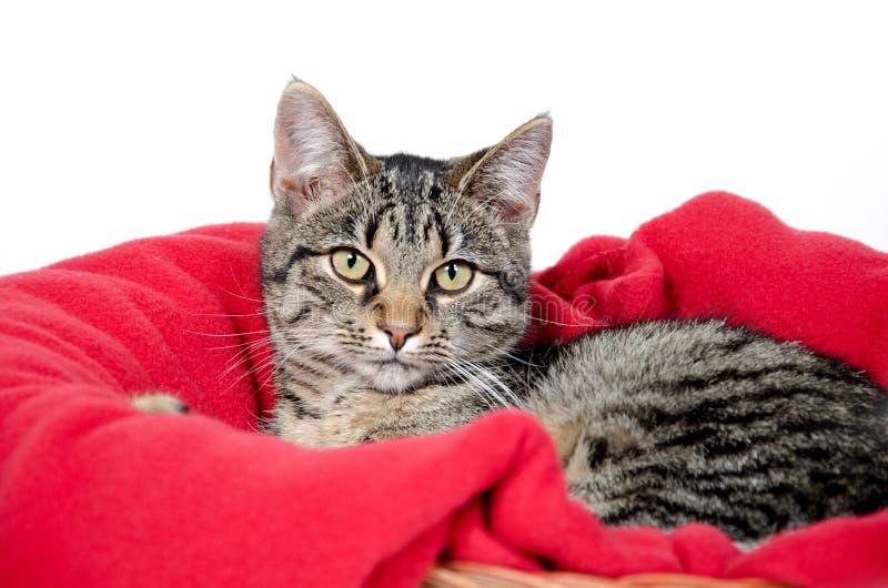Leuke tabby kat op rode deken stock fotografie