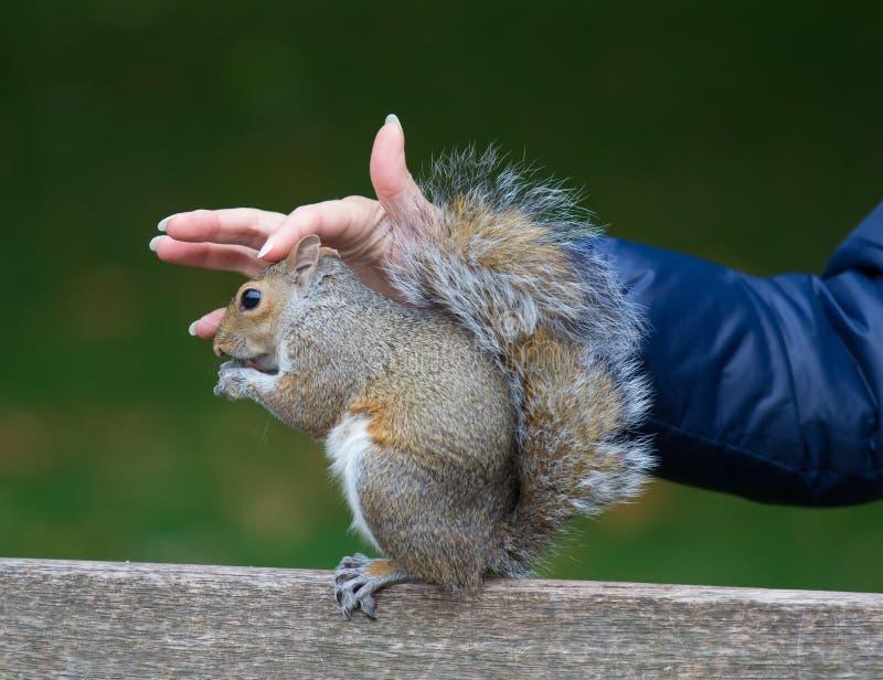 Leuke tamme Oostelijke grijze eekhoorn, sciuruscarolinensis, met heldere zwarte ogen en pluizige staartzitting en het eten van pi stock fotografie