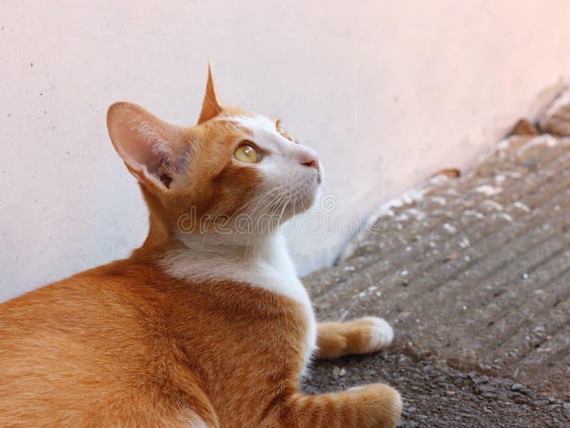 Leuke Thaise kat in de wereld royalty-vrije stock fotografie