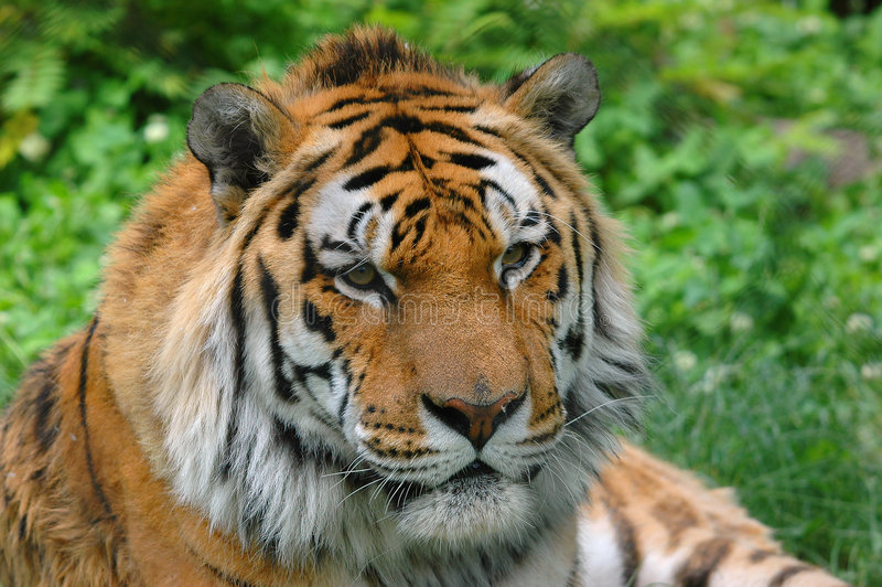 Leuke tijger stock foto's