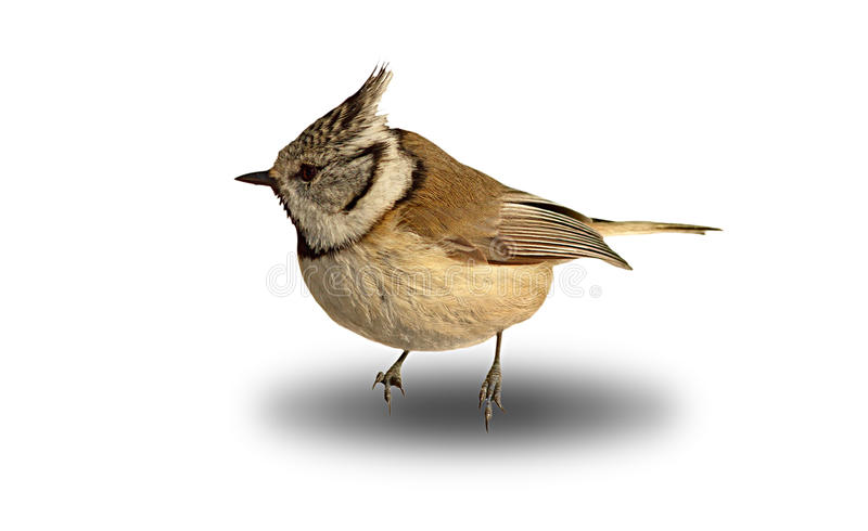 Leuke tuinvogel, kuifmees over wit royalty-vrije stock afbeelding