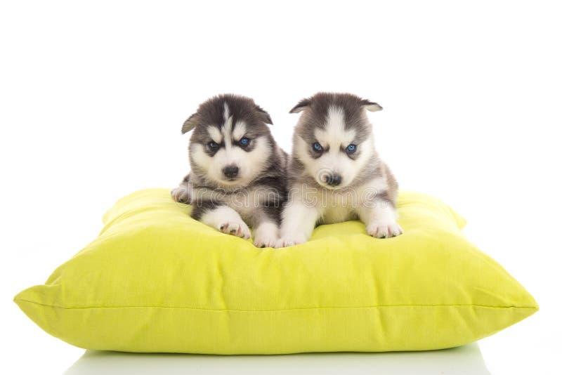 Leuke twee puppy Siberiër die op groen hoofdkussen liggen royalty-vrije stock foto