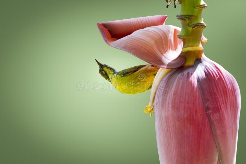 Leuke uiterst kleine vogel, neerstrijkende bovenkant - neer op banaanbloem stock foto