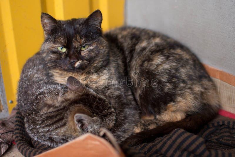 Leuke verdwaalde kat die de camera onderzoeken Dakloze kat met katje Mooi huisdier met een ongebruikelijke kleur stock foto