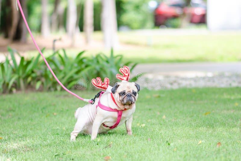Leuke vrouwelijke pug hond die op een gebied in het park met kostuum R plassen stock afbeeldingen