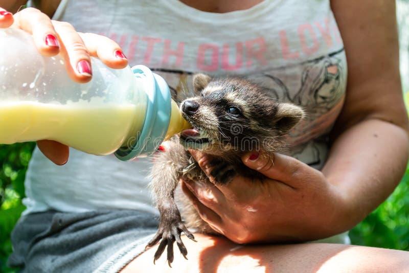 Leuke wasbeerbaby die omhoog voedend door middenleeftijdsvrouwen zijn die de fles melk in haar handen houdt royalty-vrije stock foto's