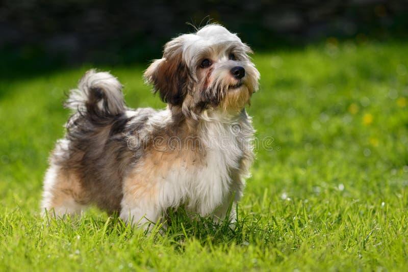 Leuke weinig Havanese-puppytribunes in het gras royalty-vrije stock fotografie