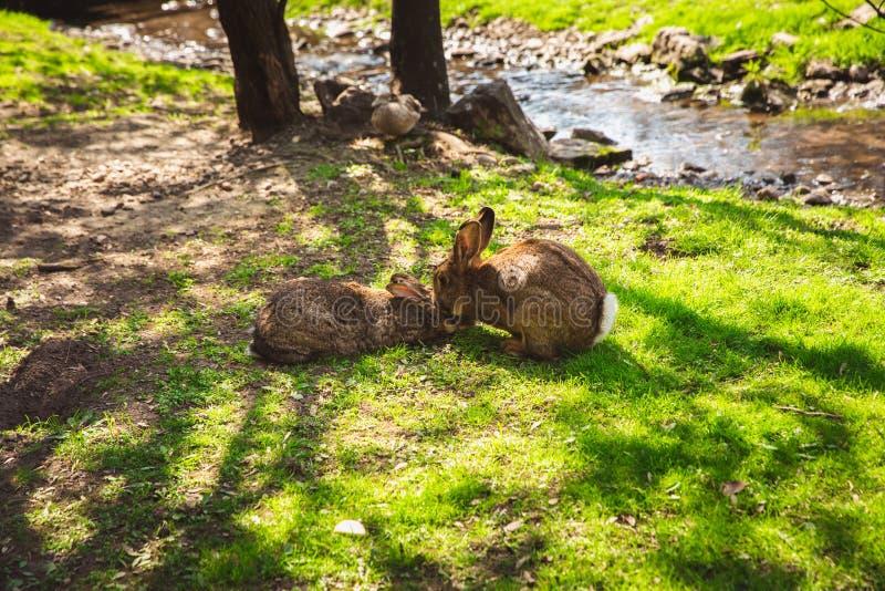 Leuke wilde konijntjeskonijnen in dierentuin, Margaret Island, Boedapest stock afbeeldingen