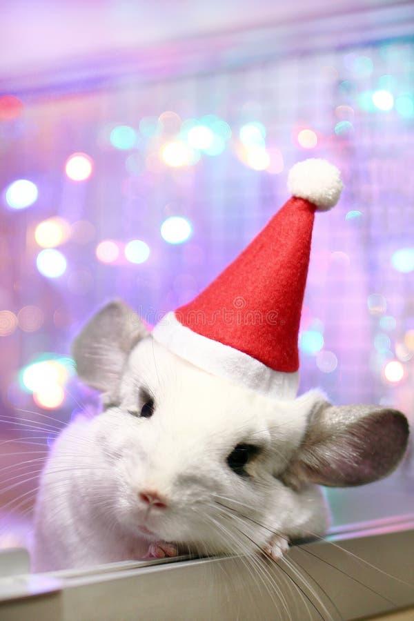 Leuke witte chinchilla met de rode hoed van Santa Claus op een achtergrond van Kerstmisdecoratie en Kerstmislichten stock foto's