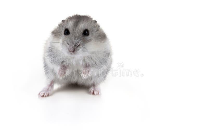 Leuke witte en grijze hamster royalty-vrije stock foto
