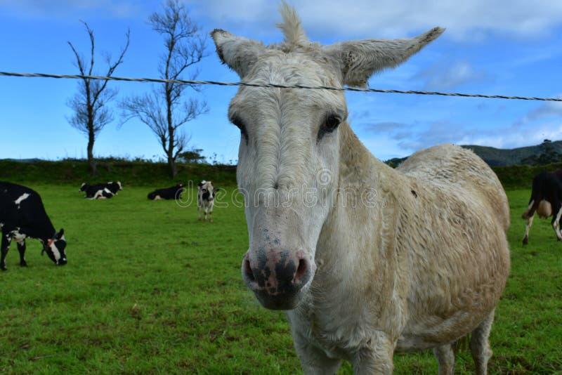 Leuke Witte Ezel op een Gebied van Koeien royalty-vrije stock foto's