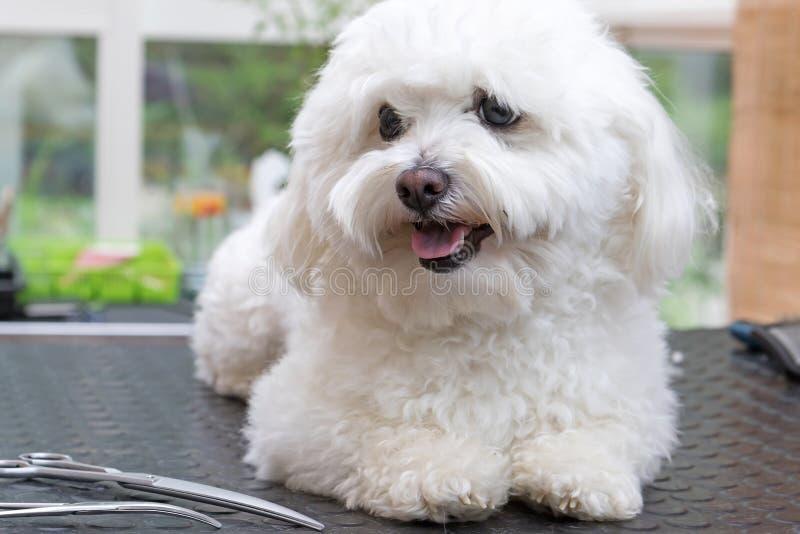 Leuke witte hond met schaar stock afbeelding