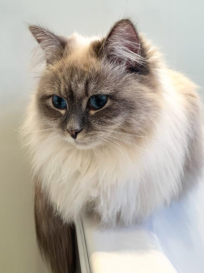 Leuke witte katjeszitting dichtbij het venster op venstervensterbank binnen een huis verticaal royalty-vrije stock afbeeldingen