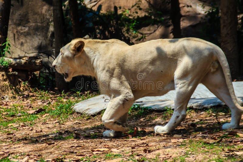 Leuke witte leeuw, een zeldzame kleurenverandering van de leeuw royalty-vrije stock afbeelding