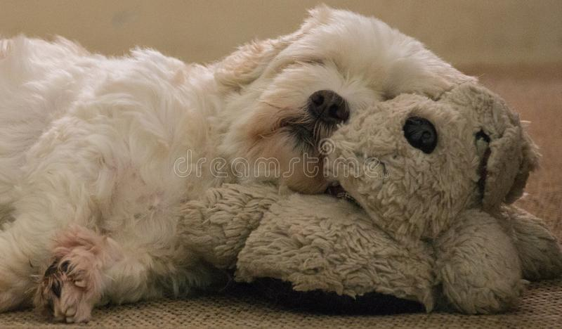 Leuke witte Lhasa Apso-hondslaap op een hond royalty-vrije stock afbeeldingen