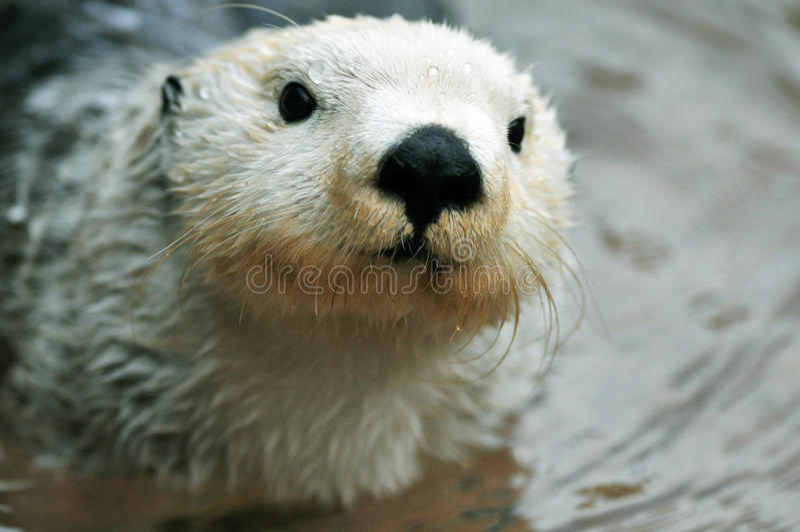 Leuke witte otter royalty-vrije stock fotografie