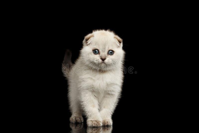 Leuke Witte Schotse Vouwen Kitten Standing, vooraanzicht Geïsoleerde Zwarte royalty-vrije stock fotografie
