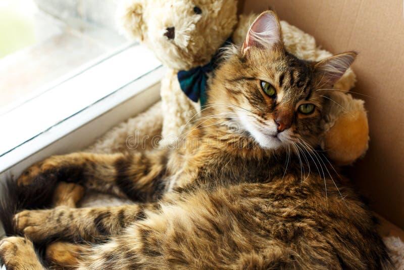 Leuke zoete kat die slaperig in ambachtdoos liggen met zijn teddybeer stock afbeelding