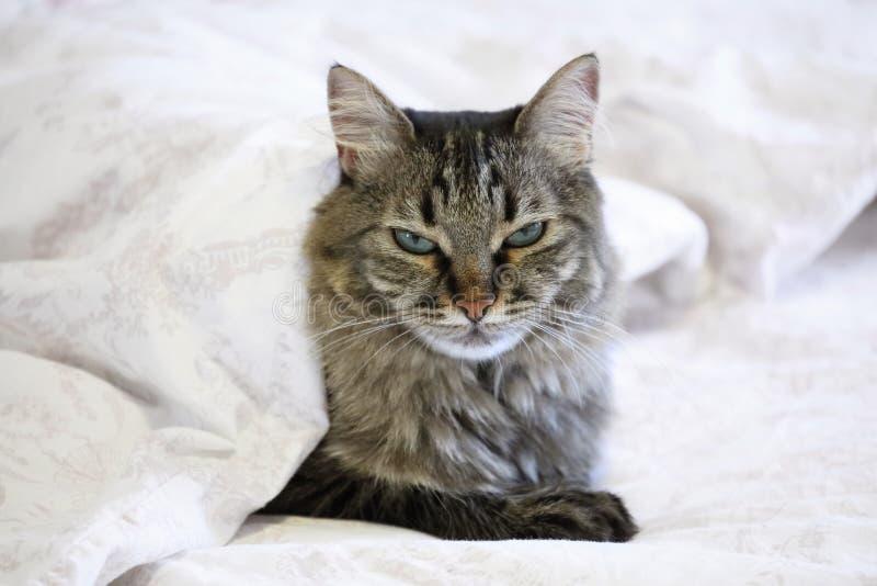 Leuke zwarte en grijze kat die op bed onder een wit dekbed met slaperig gezicht liggen stock afbeelding