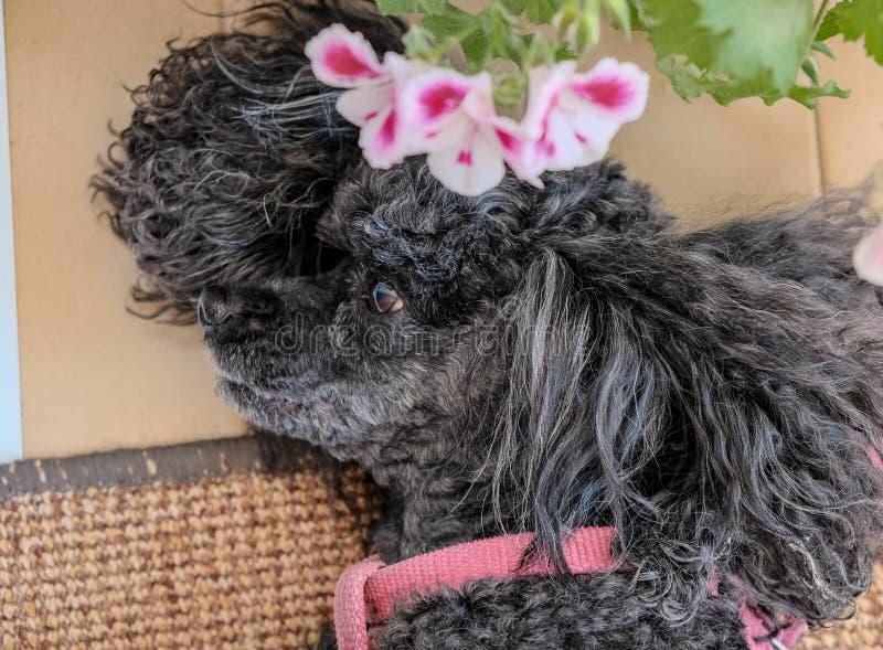 Leuke zwarte hond op roze bloemenachtergrond royalty-vrije stock afbeelding