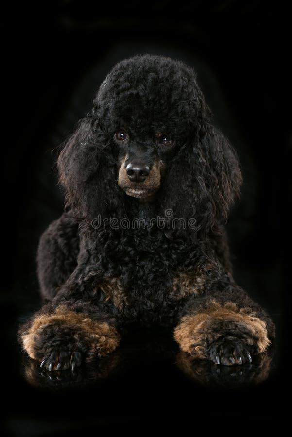 Leuke zwarte poedel die op zwarte achtergrond liggen royalty-vrije stock foto