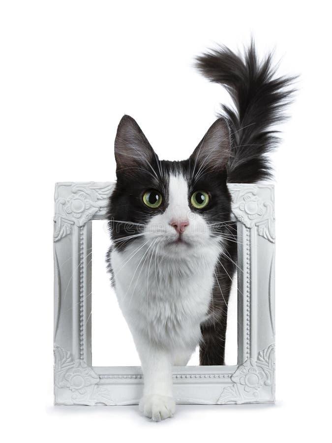 Leuke zwarte rook die met witte Turkse Angora kat zich in wit fotokader bevinden op witte achtergrond met staart in de lucht stock foto